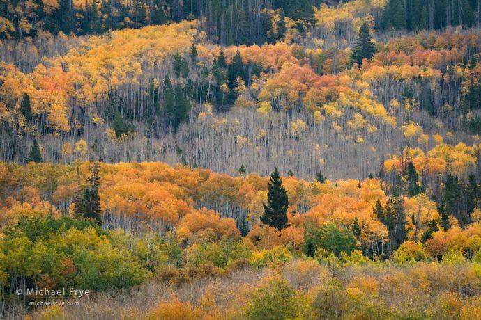 Aspen-covered hillside, northern Utah, USA