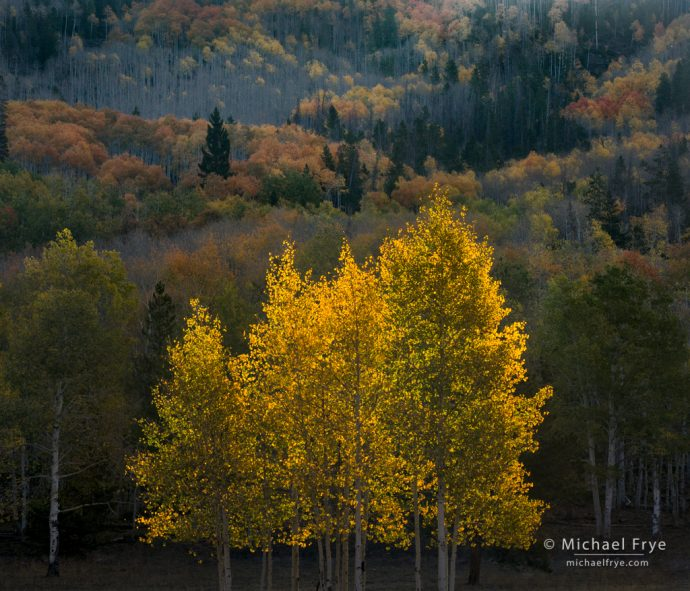 Backlit aspens, northern Utah, USA