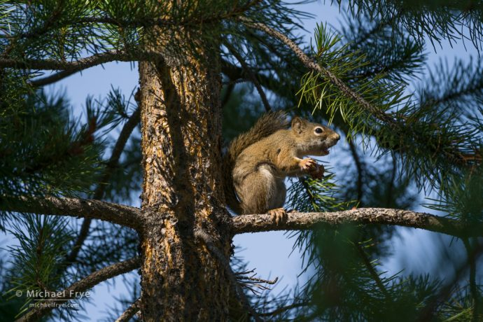 Red squirrel chattering, northern Utah, USA