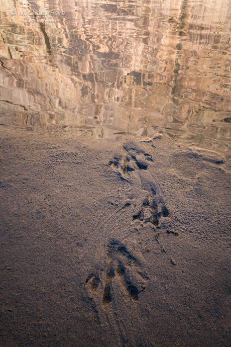 Beaver tracks emerging from the Green River, Dinosaur National Monument, Colorado, USA