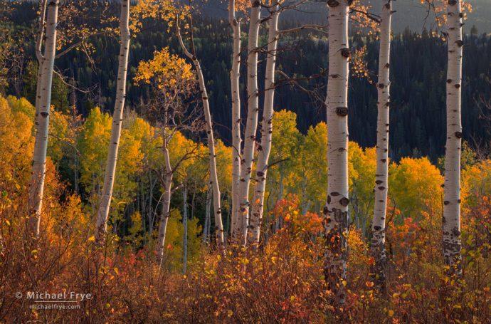 Oaks and aspens, last light, White River NF, CO, USA