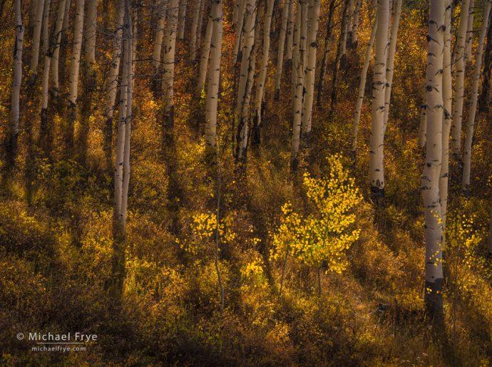 Aspen understory, White River NF, CO, USA