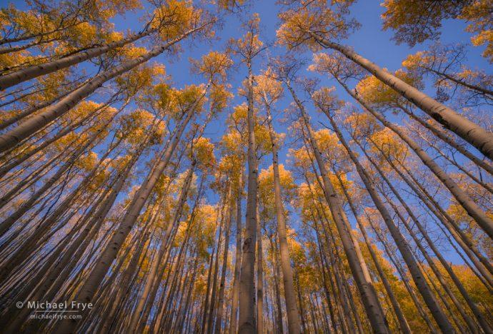 Aspen canopy, White River NF, CO, USA