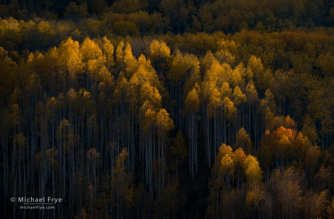 First light on aspens, Grand Mesa-Uncompahgre-Gunnison NF, CO, USA