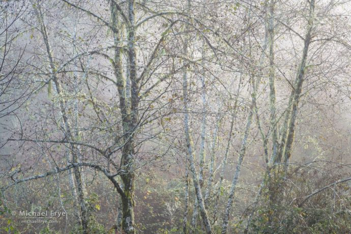 Alders in fog, Oregon, USA
