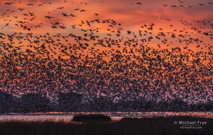 Snow geese at sunrise, Sacramento Valley, CA, USA