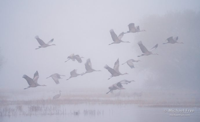 Sandhill cranes taking flight, San Joaquin Valley, CA, USA