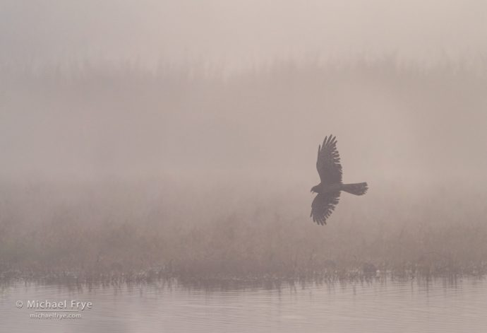 Northern harrier flying over a marsh in the fog, San Joaquin Valley, CA, USA