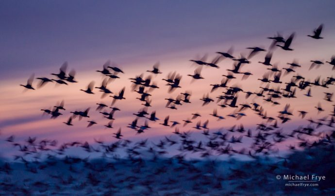 Aleutian cackling geese at sunset, San Joaquin Valley, CA, USA