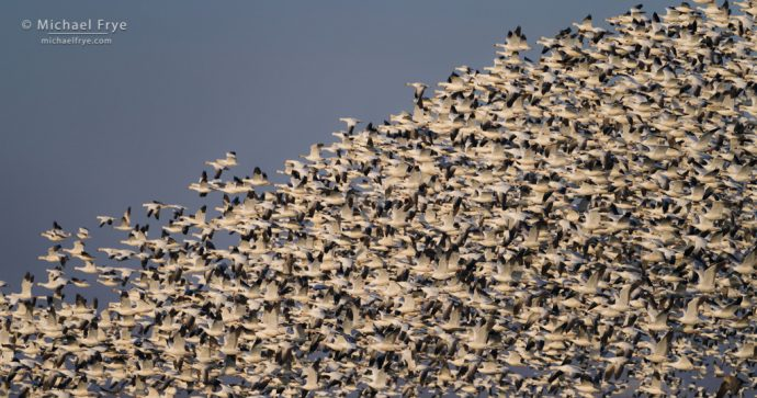 Snow geese in formation, San Joaquin Valley, CA, USA