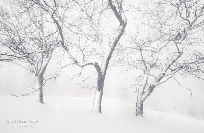 Snowy oaks, Mariposa County, CA, USA