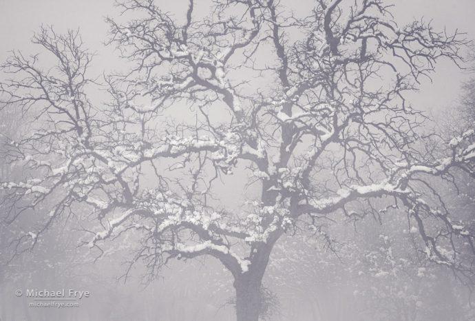 Oak in fog, Mariposa County, CA, USA