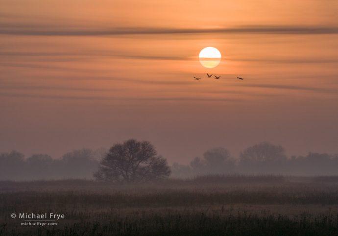 Sandhill cranes at sunrise, San Joaquin Valley, CA, USA