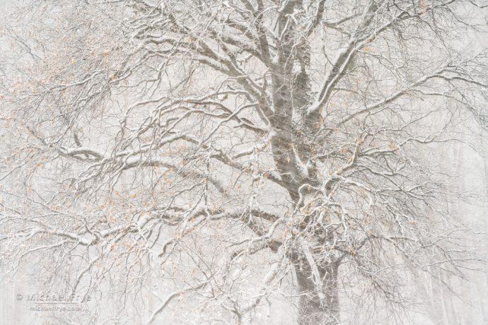 Oak in a snowstorm, Yosemite NP, CA, USA