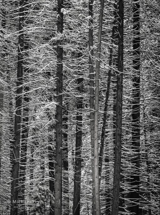 Snow-covered branches, Yosemite NP, CA, USA