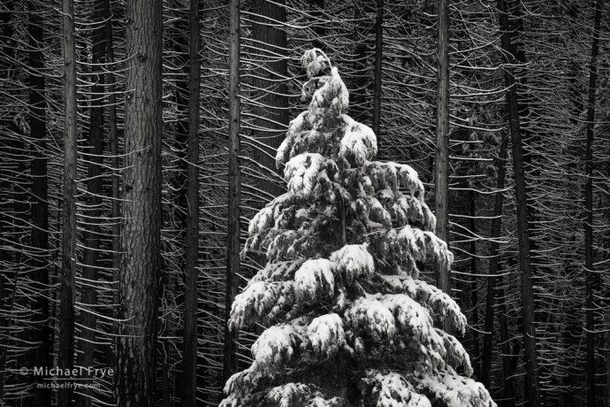 Young incense cedar among old incense cedars and ponderosa pines, Yosemite NP, CA, USA