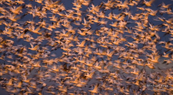 Snow geese and Ross's geese lit by the setting sun, San Joaquin Valley, CA, USA