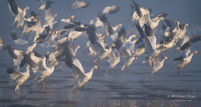 Snow geese taking flight, San Joaquin Valley, CA, USA