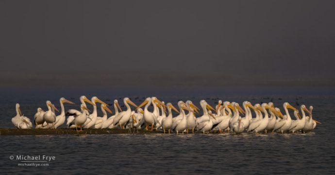 White pelicans, San Joaquin Valley, CA, USA