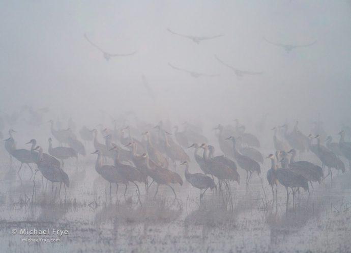 Sandhill cranes in fog, San Joaquin Valley, CA, USA