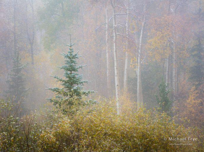 Foggy autumn scene, Pike-Isabel NF, CO, USA