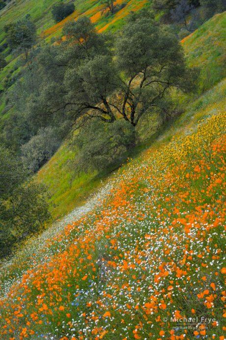 Flowers and oaks, Sierra Nevada foothills, CA, USA