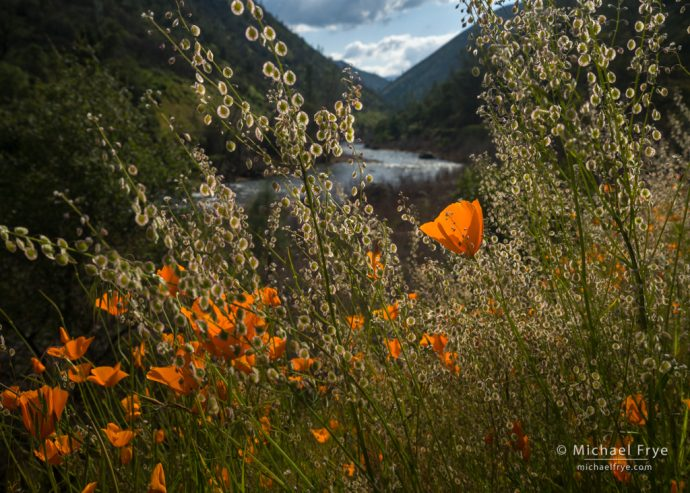 Poppies and the Merced River, Sierra Nevada foothills, CA, USA