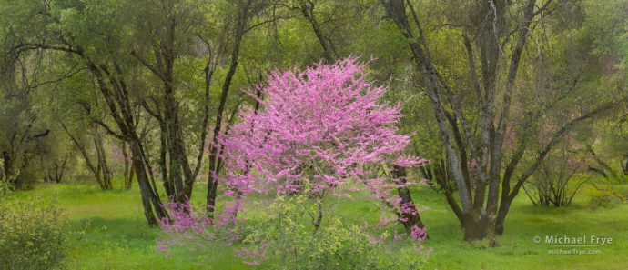 Redbud and oaks, Sierra Nevada foothills, CA, USA