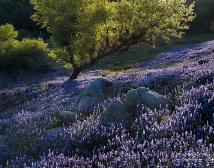 Lupines and willow, Sierra Nevada foothills, CA, USA