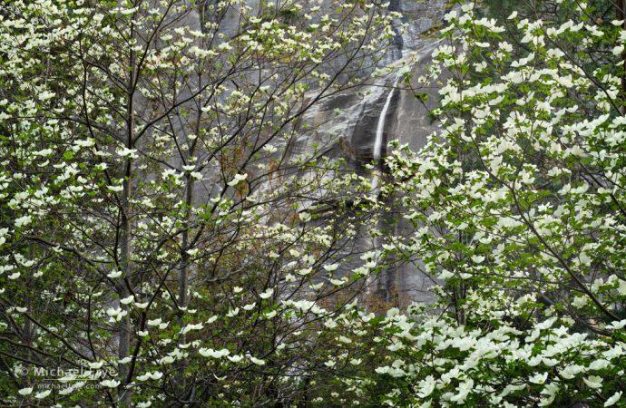 Dogwoods and waterfall, Yosemite NP, CA, USA