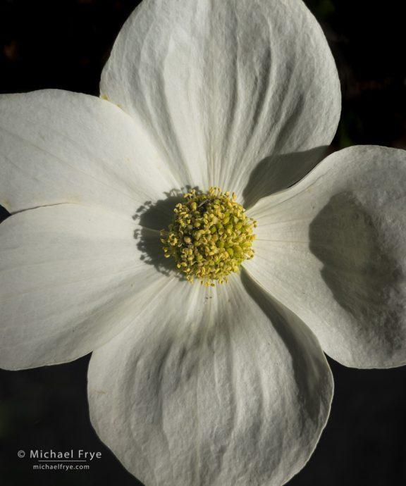 Dogwood blossom, Yosemite NP, CA, USA