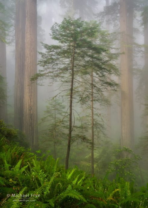 Young and old redwoods, northern California, USA