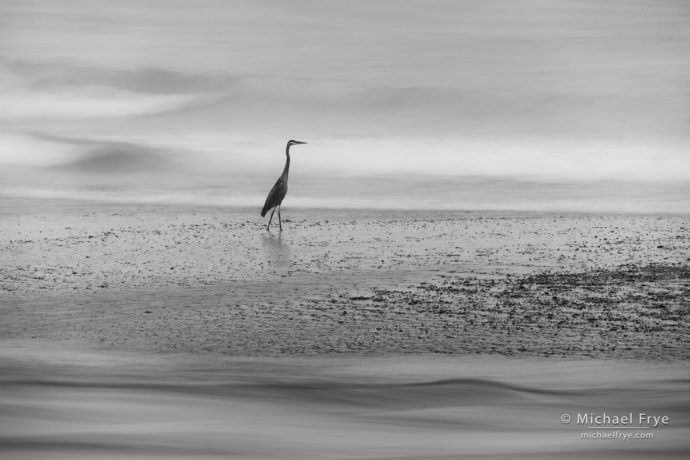 Great blue heron at the mouth of the Klamath River, CA, USA