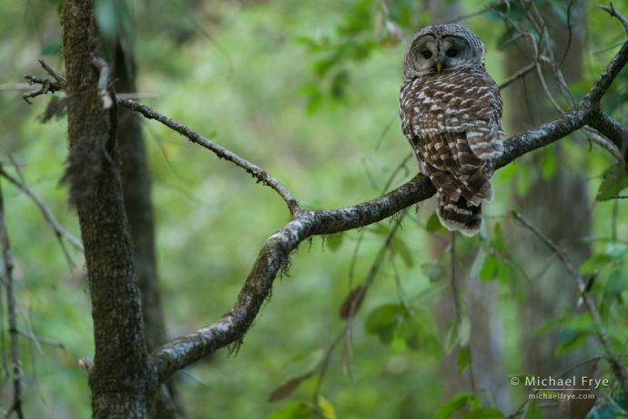 Barred owl in a northern California forest, USA