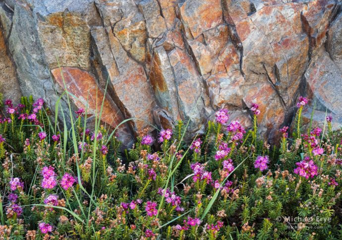 Red mountain heather and metamorphic rock, Inyo NF, CA, USA