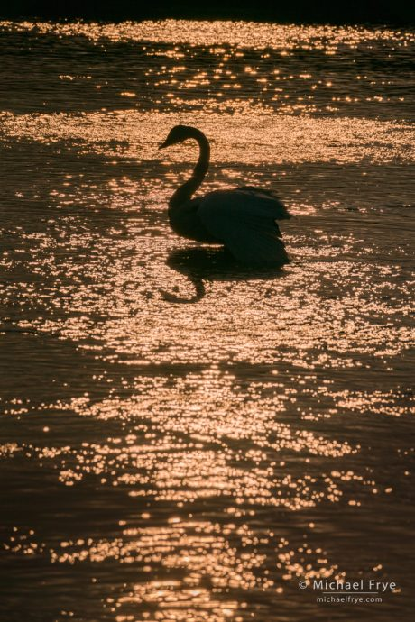 Trumpeter swan and reflections, Yellowstone NP, WY, USA