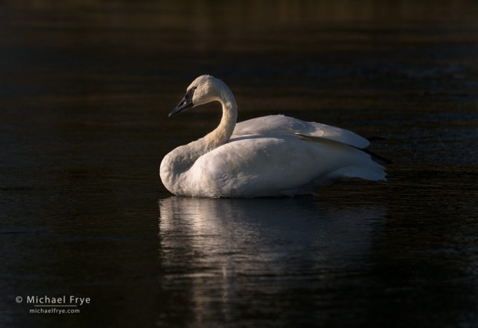 Trumpeter swan, Yellowstone NP, WY, USA